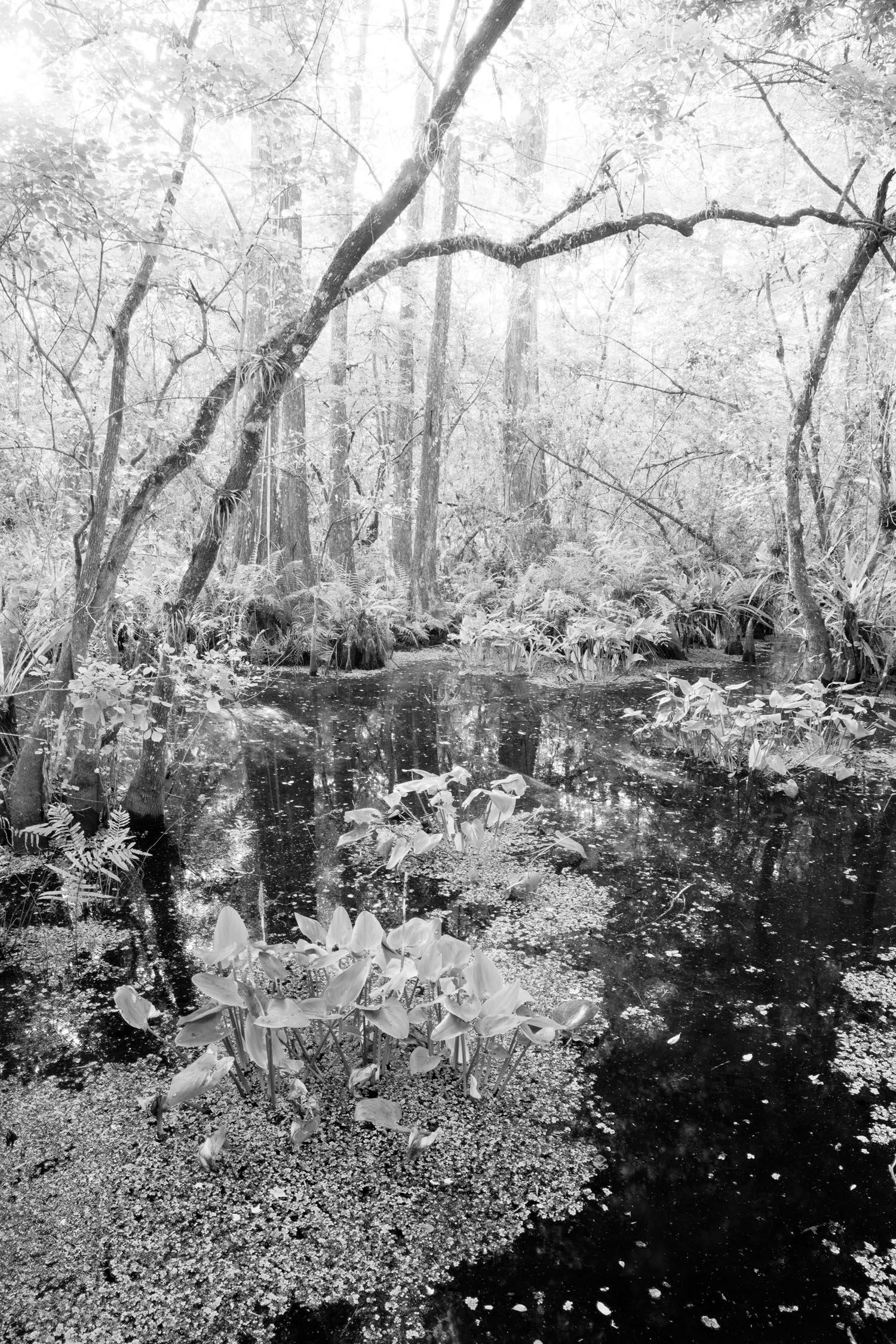 big cypress swamp, corkscrew swamp, florida, everglades, black and white, , photo
