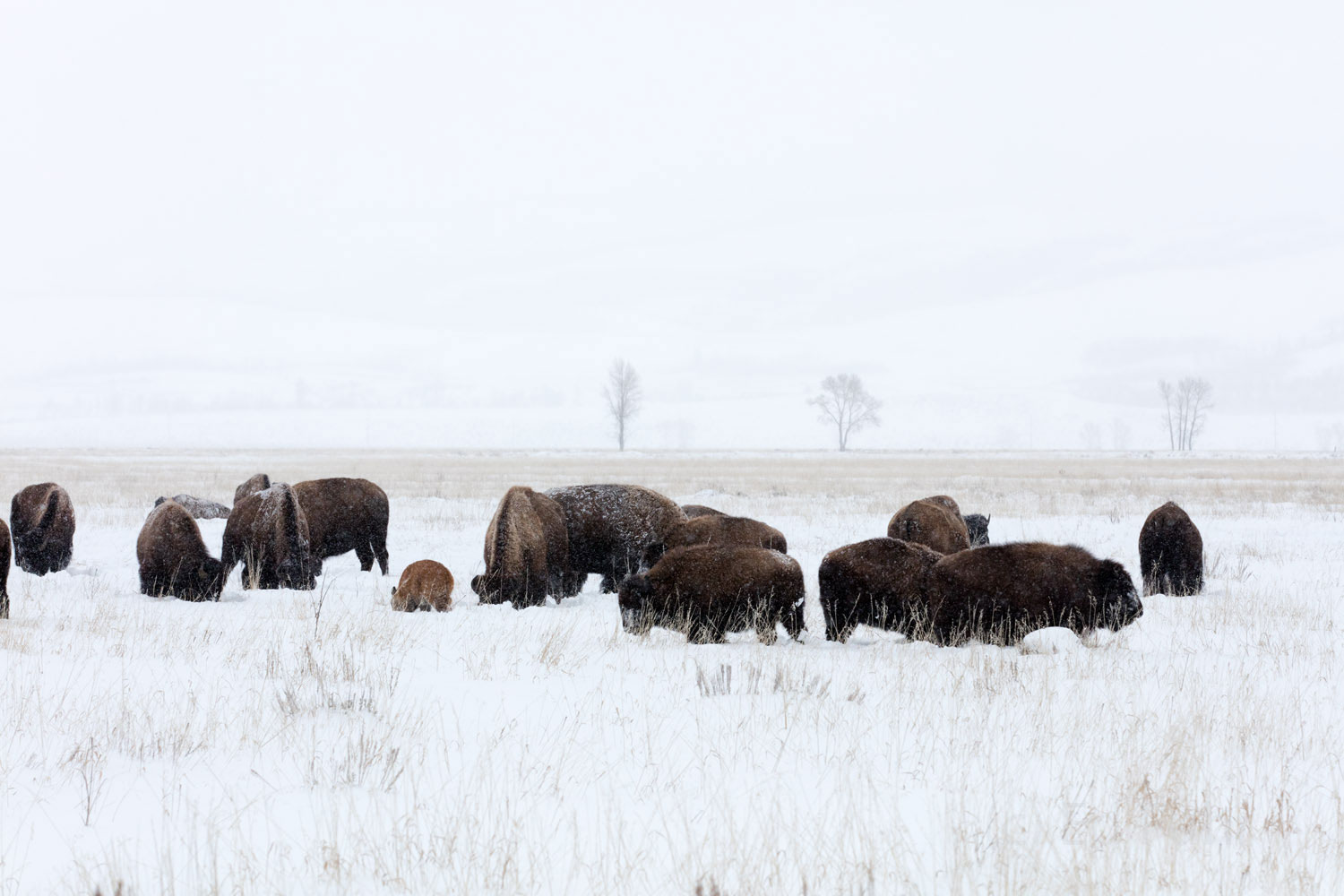 grand teton, bison, winter, december 2015, photograph, image, Tetons, photo