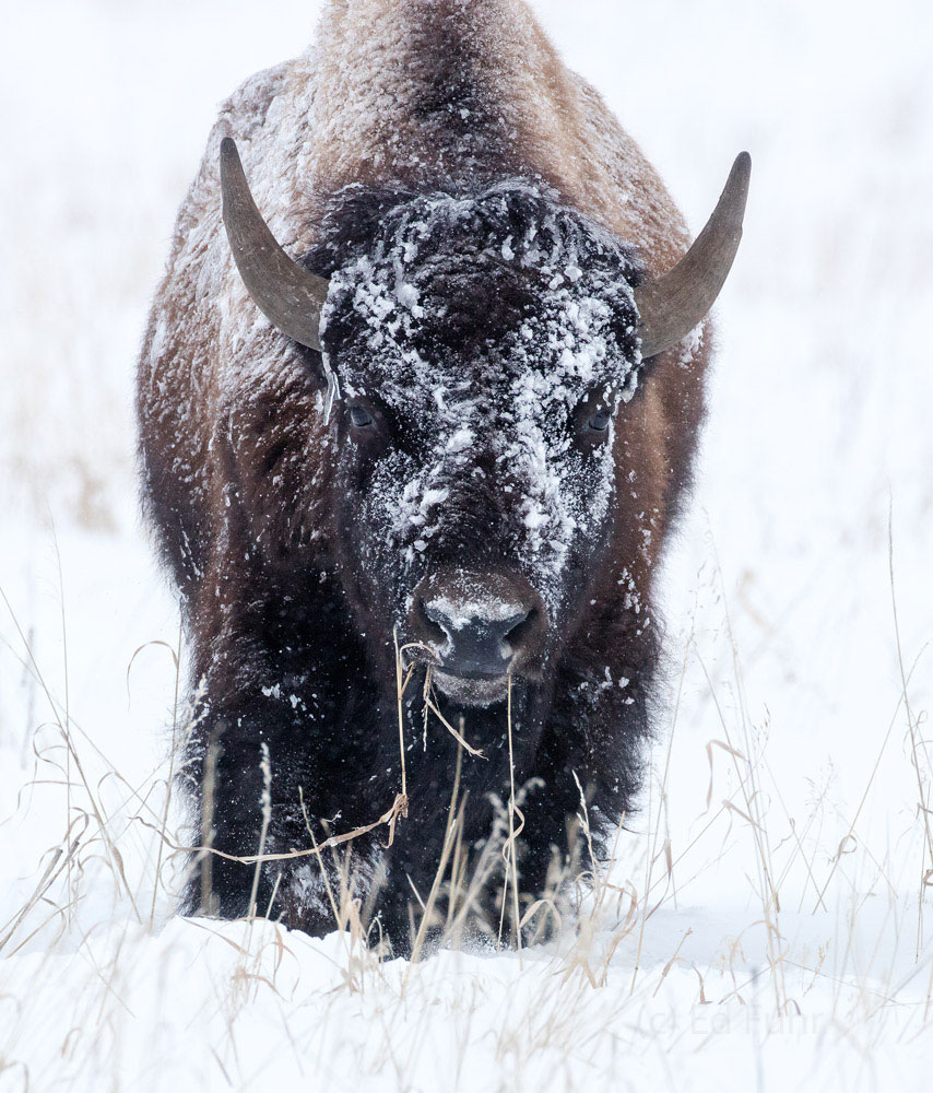 grand teton, bison, winter, december 2015, photograph, image, Tetons