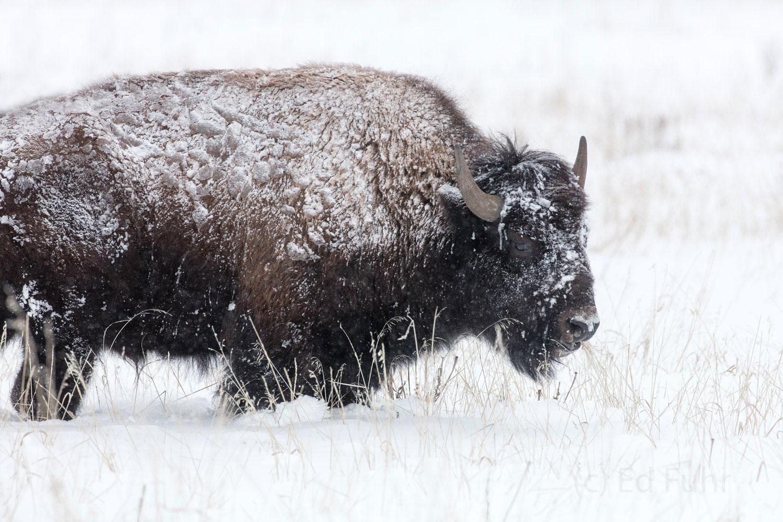 grand teton, bison, winter, december 2015, photograph, image, Tetons, photo