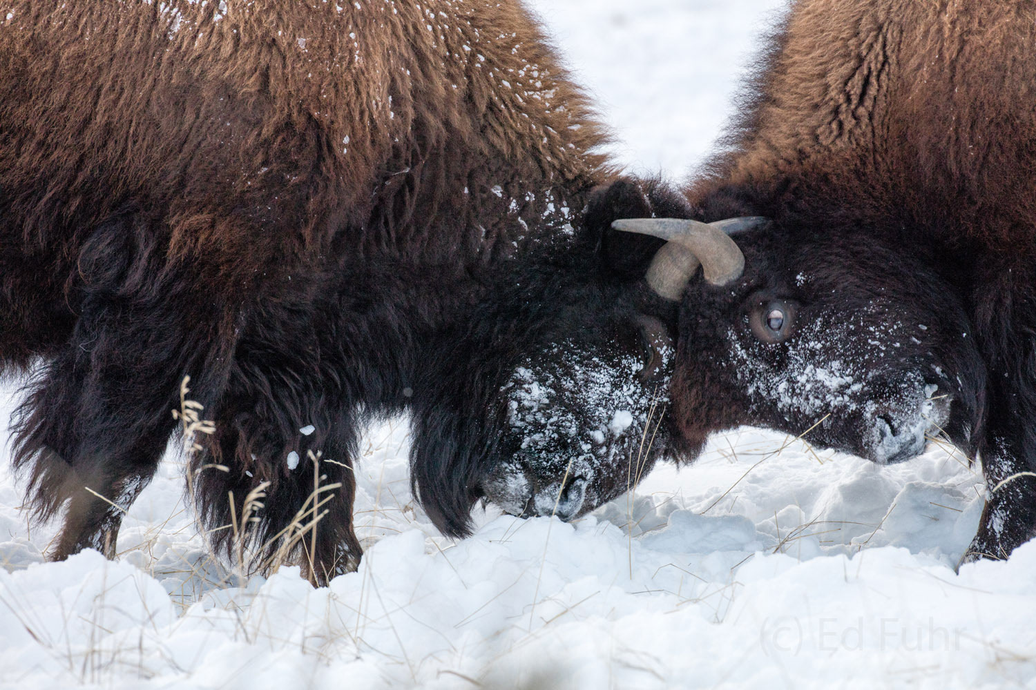 2015, grand teton, bison, winter, december 2015, photograph, image, Tetons, photo