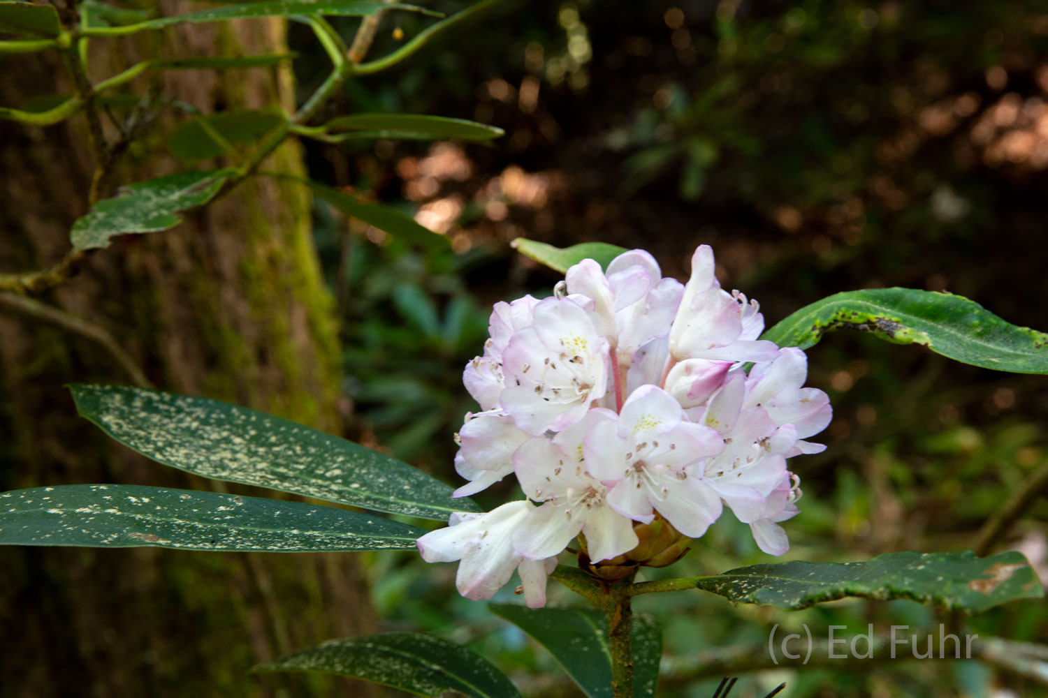 cades cove, loop road, rhododendron, photo