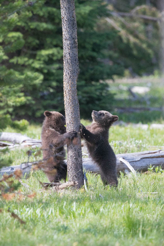 Grizzly 399's two cubs scratch a dead pine and plan their next adventure.