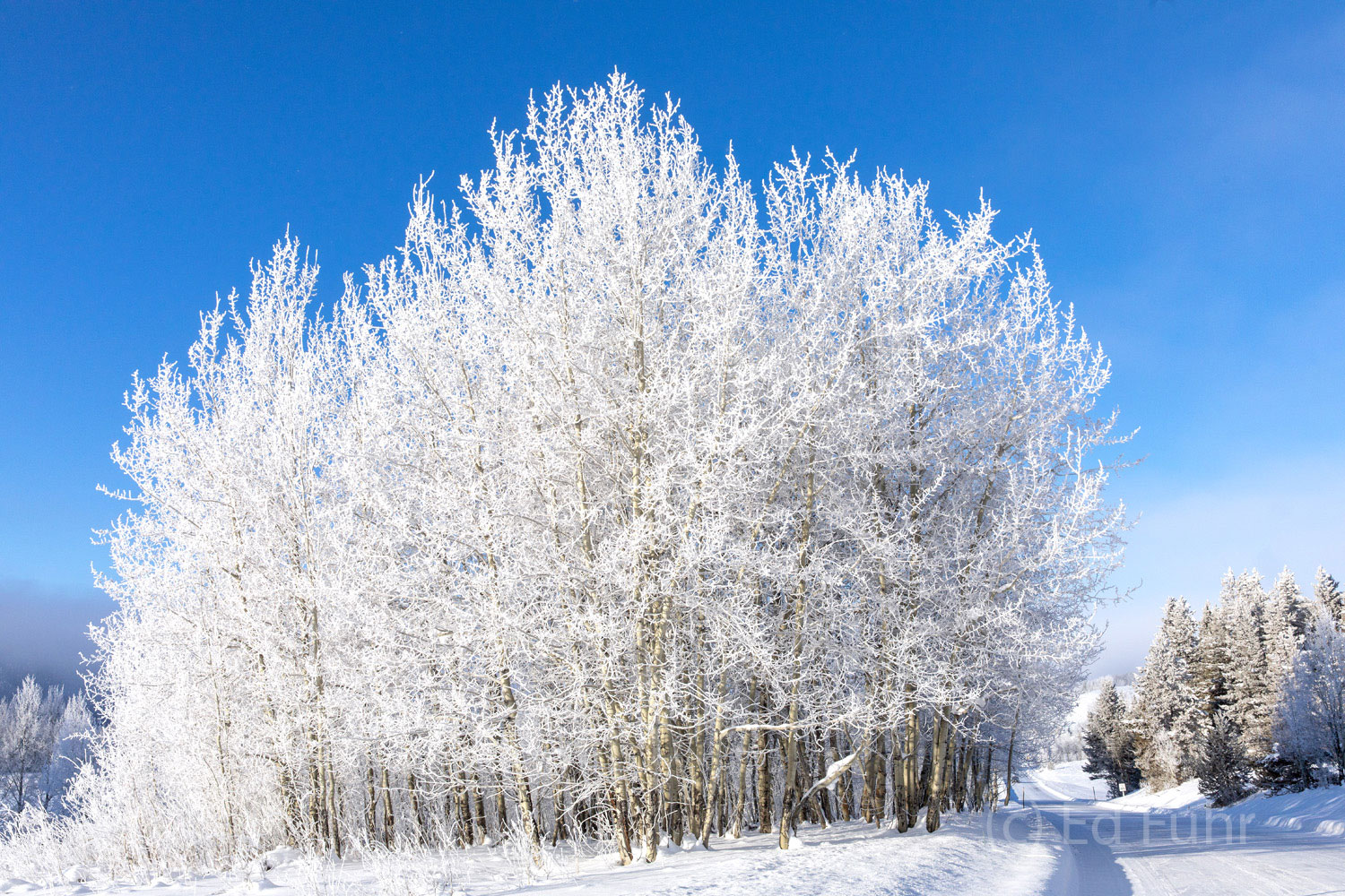 A heavy hoarfrost coats these aspens along the drive below WIllow Flats.