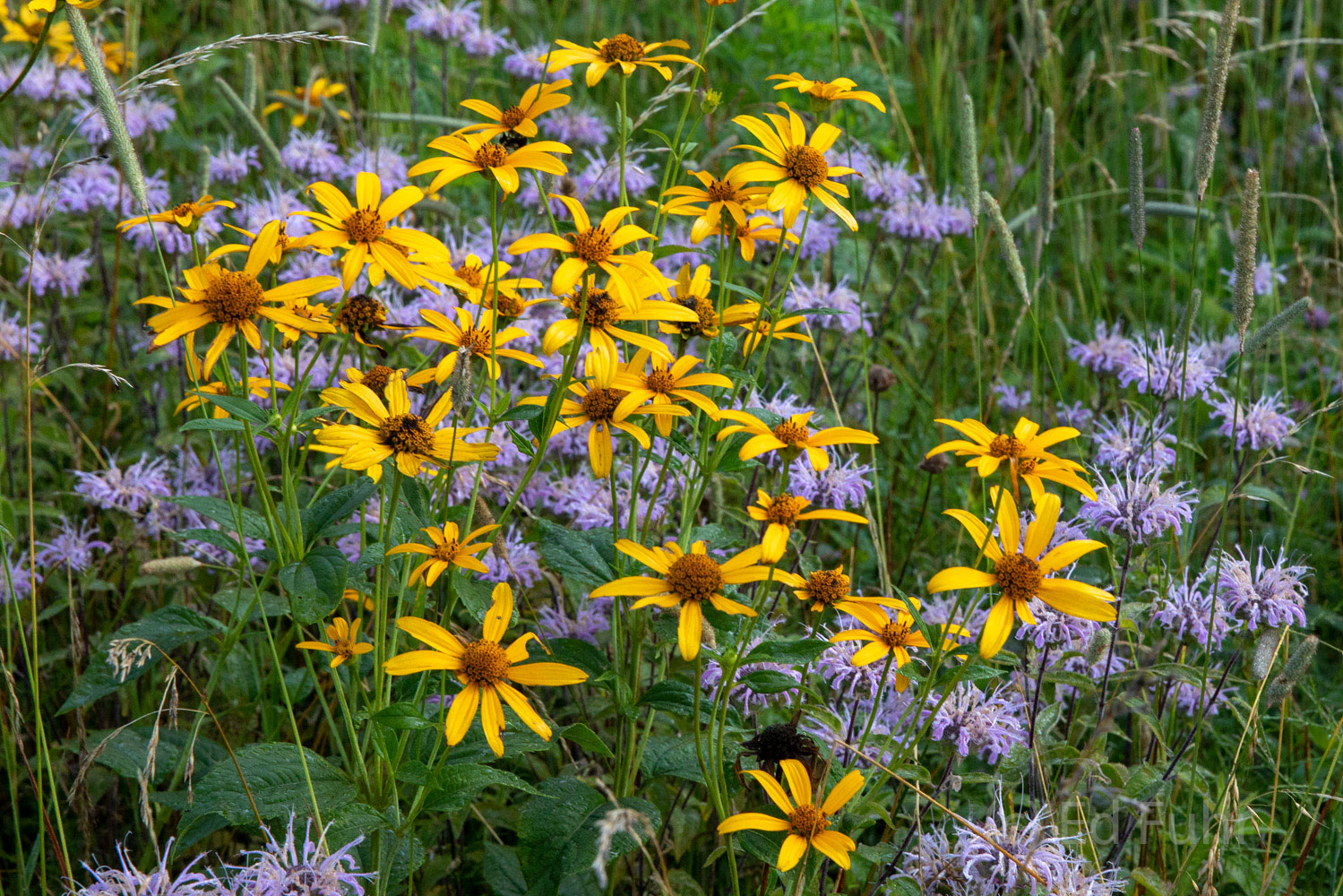 Helianthus and Asters