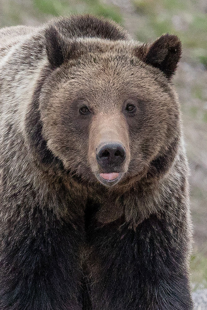 Portrait of a Grizzly:  Felicia