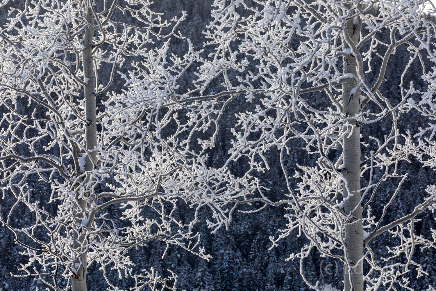 Frosted Aspens II