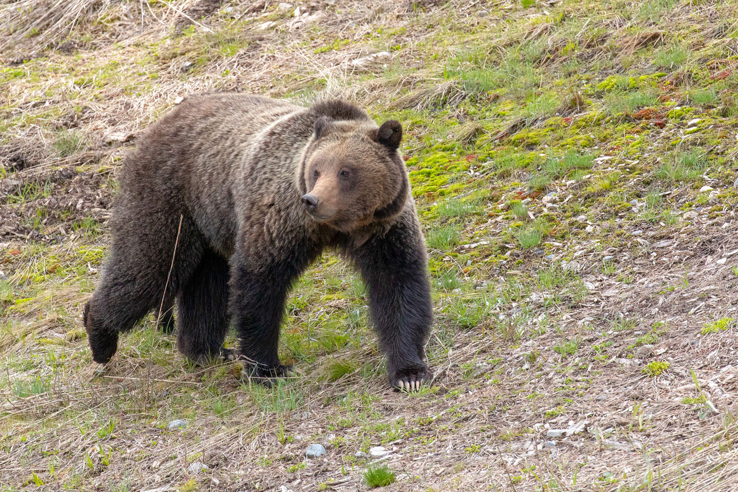 Felicia is a large, imposing and powerful grizzly.
