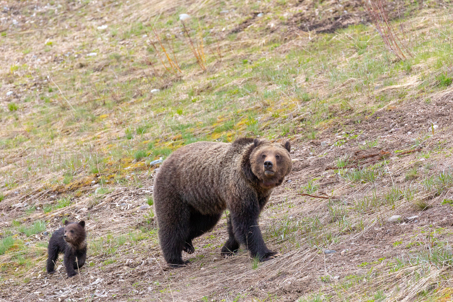 Grizzly Felicia and her cub Pepper walk in synchronized unison.