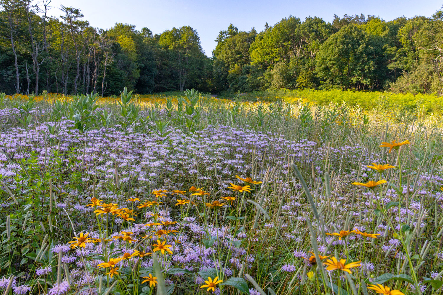 Shenandoah's Wild side:  meadows and roadsides of yellow helianthus, solidago and rudbeckia, purple asters and monarda, white...