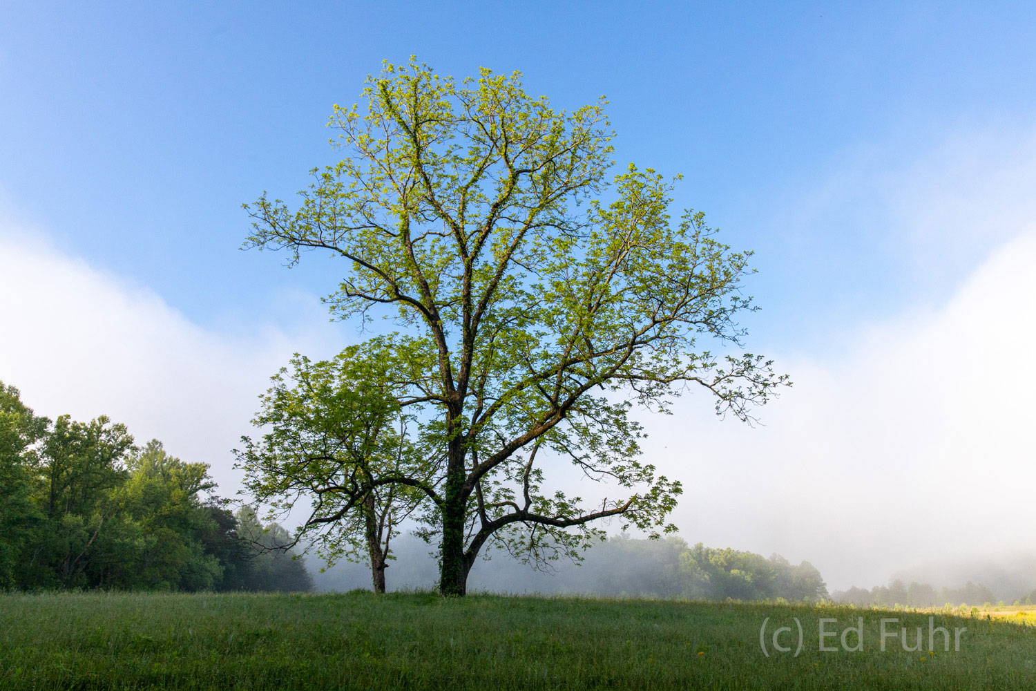 fog, tree, cades cove. spring, photo