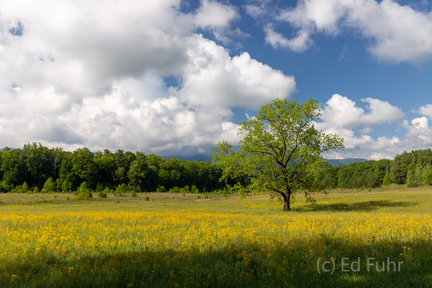 Clouds stream across the Valley.  Wildflowers fill the pastures.  Spring's young leaves emerge on this ancient walnut.   Fifty...