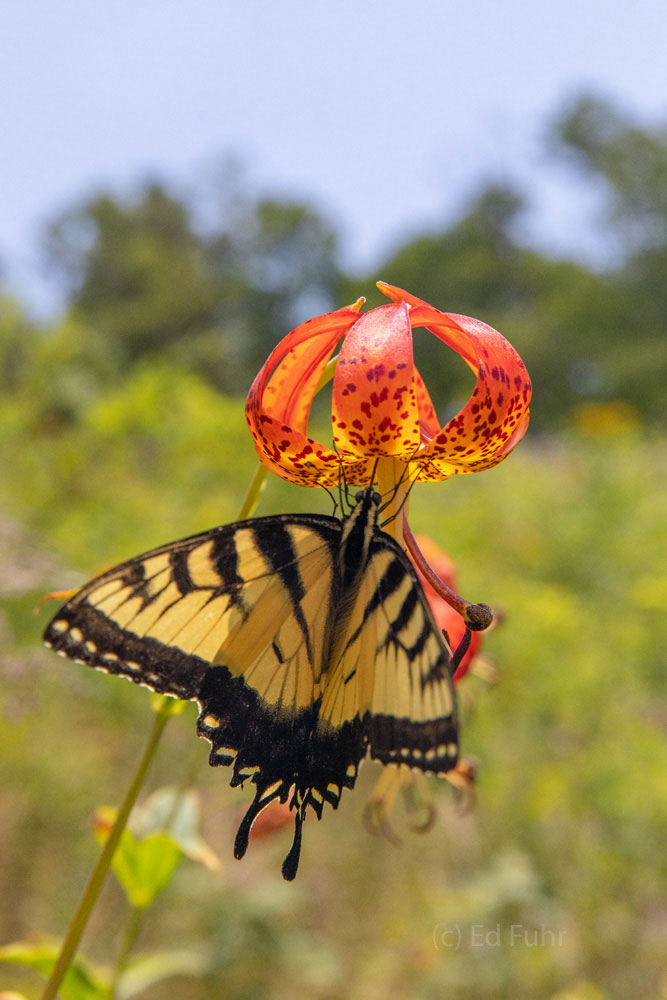 Yellow Tiger Swallowtail on Turks Cap
