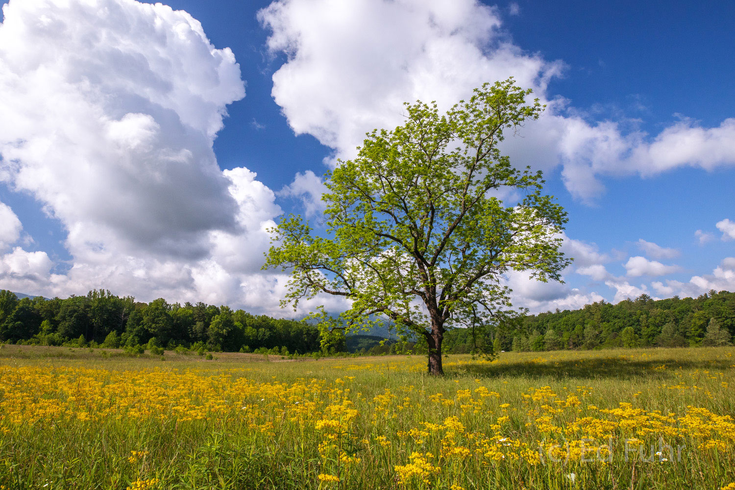 An ancient walnut that first greeted me some 50 years ago rises above a field of yellow wildflowers.   Time stands still and...
