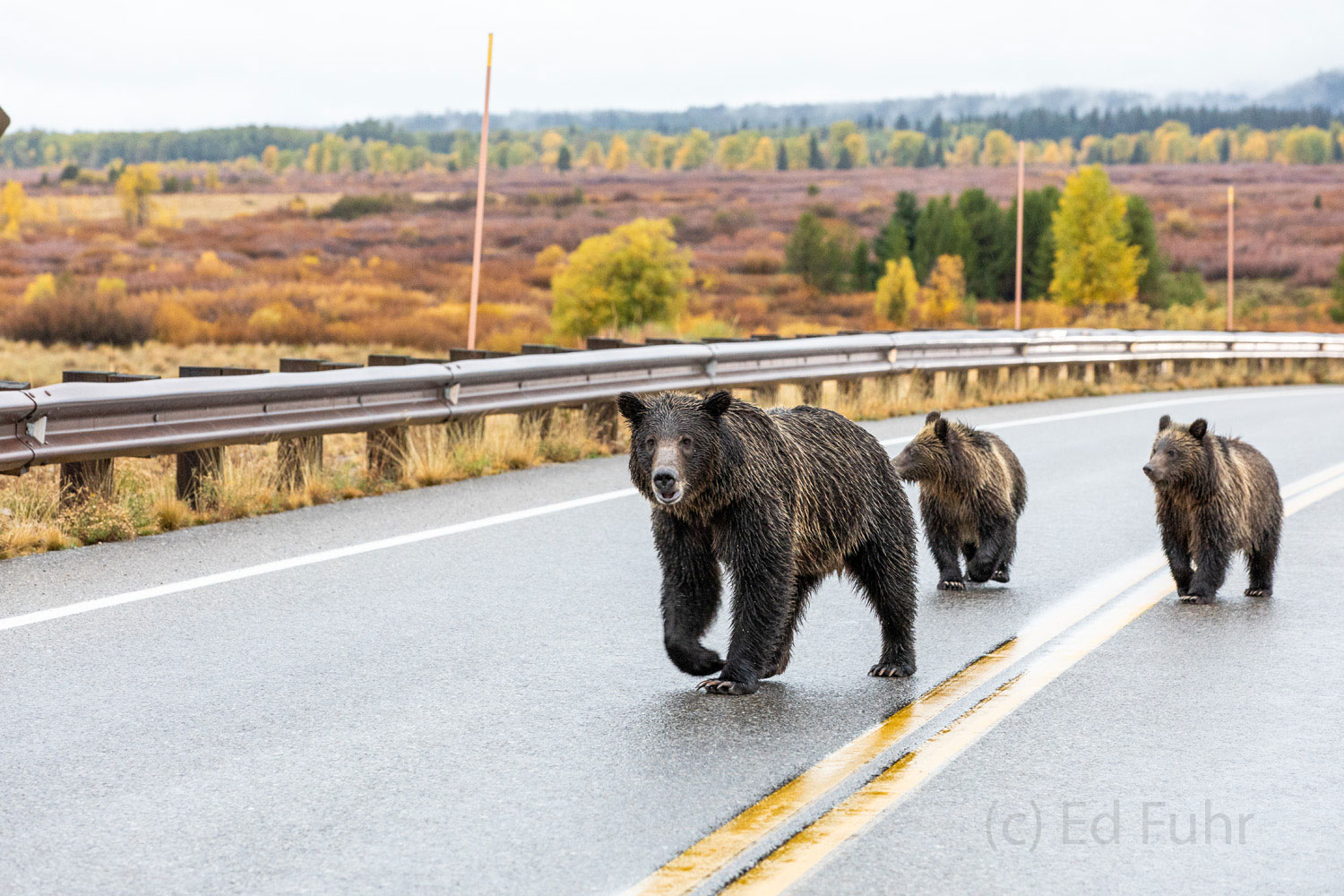 grizzly, bear, blondie, cubs, photo