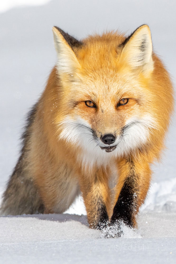 Perhaps it was a slight sound below the two feet of snow that has alerted this fox that a small rodent was nearby.