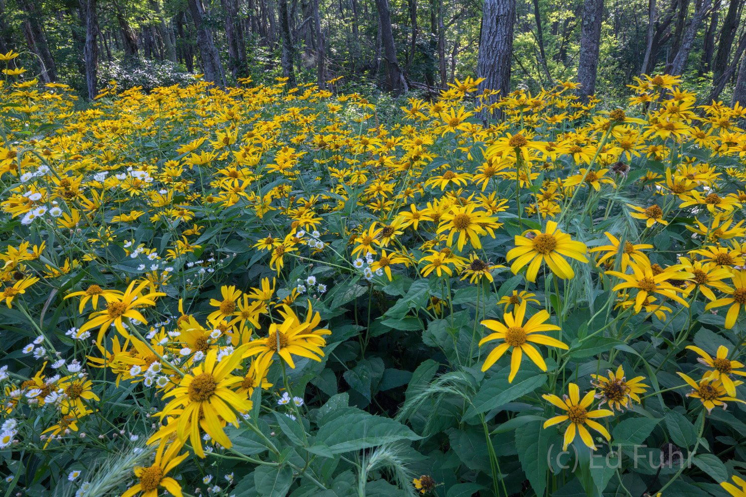 Wildflowers at the Forest's Edge