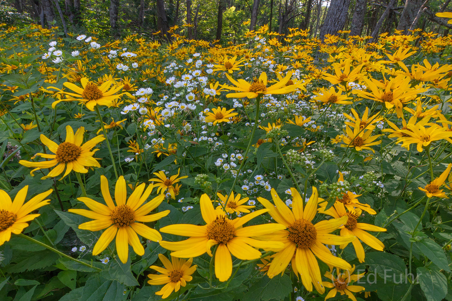 Wildflowers, Shenandoah, Shenandoah national park, wildflower, photography, image, skyline drive summer, photo