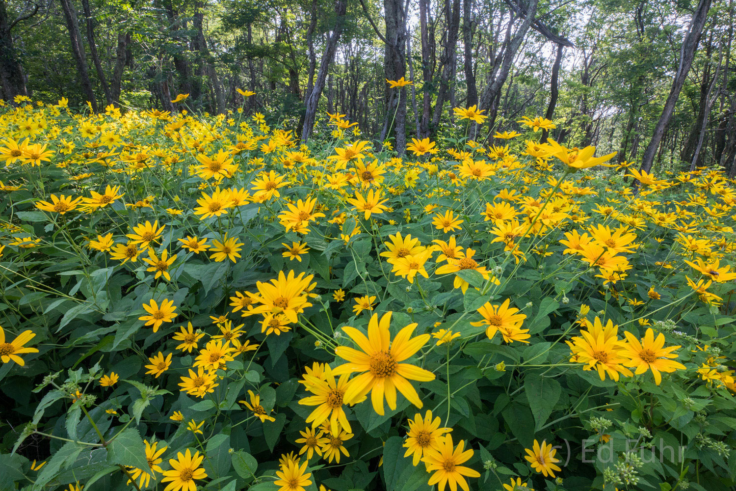 When conditions are right, Shenandoah can boast some of the best summer wildflower displays on the east coast.