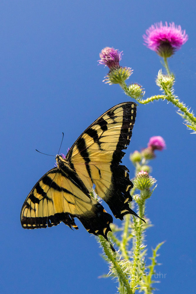 With great wildflowers comes great butterflies! Here, a male yellow tiger swallowtail is attracted to the nectary of a common...