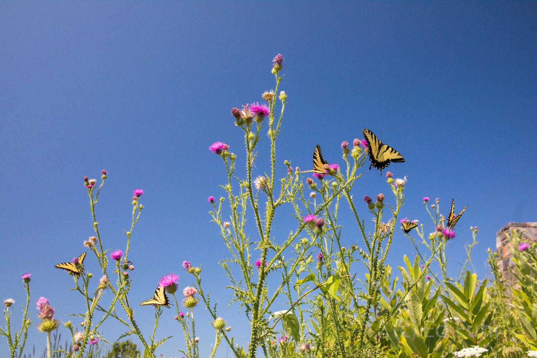 Wildflowers, Shenandoah, Shenandoah national park, wildflower, photography, image, skyline drive summer, photo