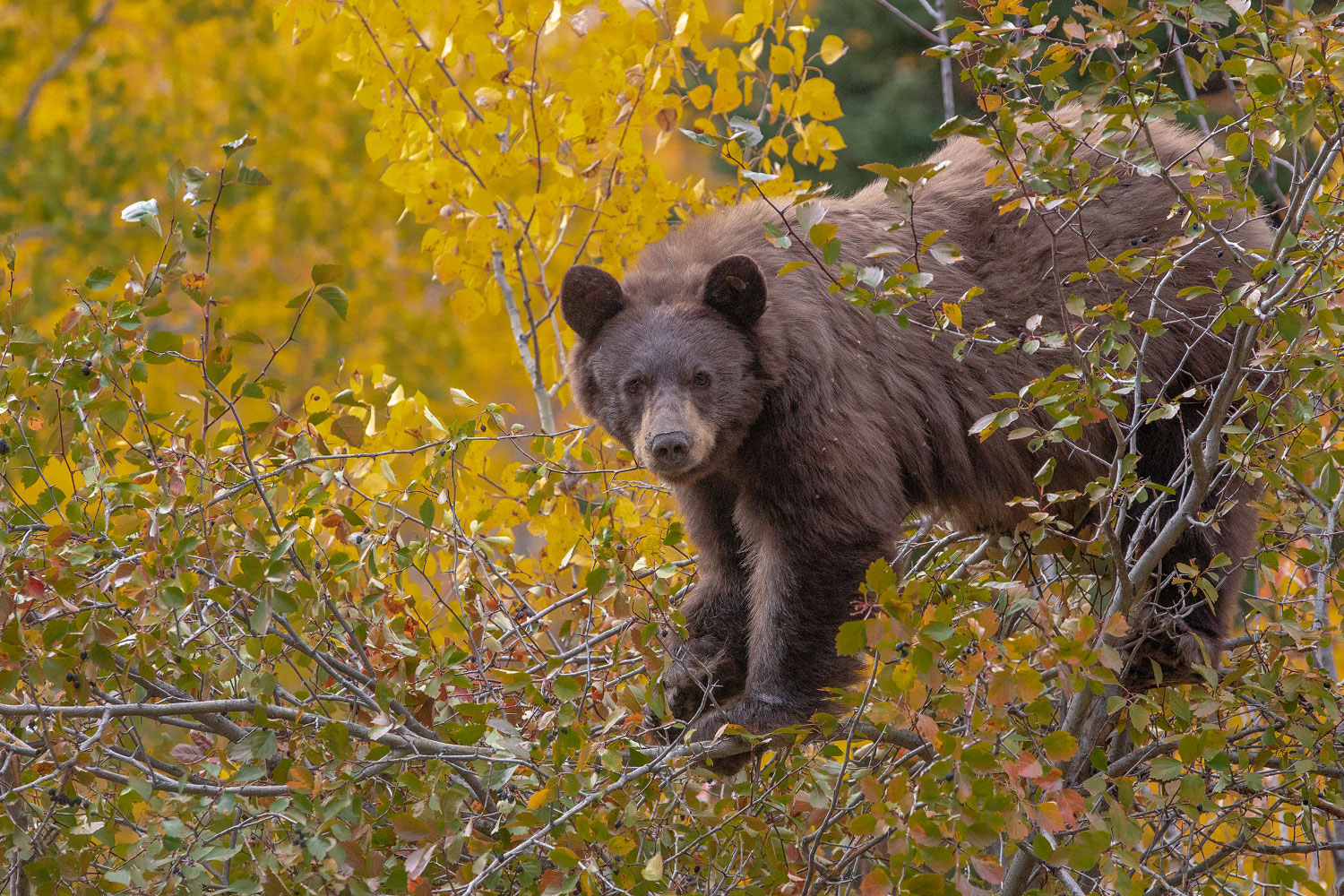 A black bear forages for alderberry above Moose Wilson Road in Grand Teton National Park.