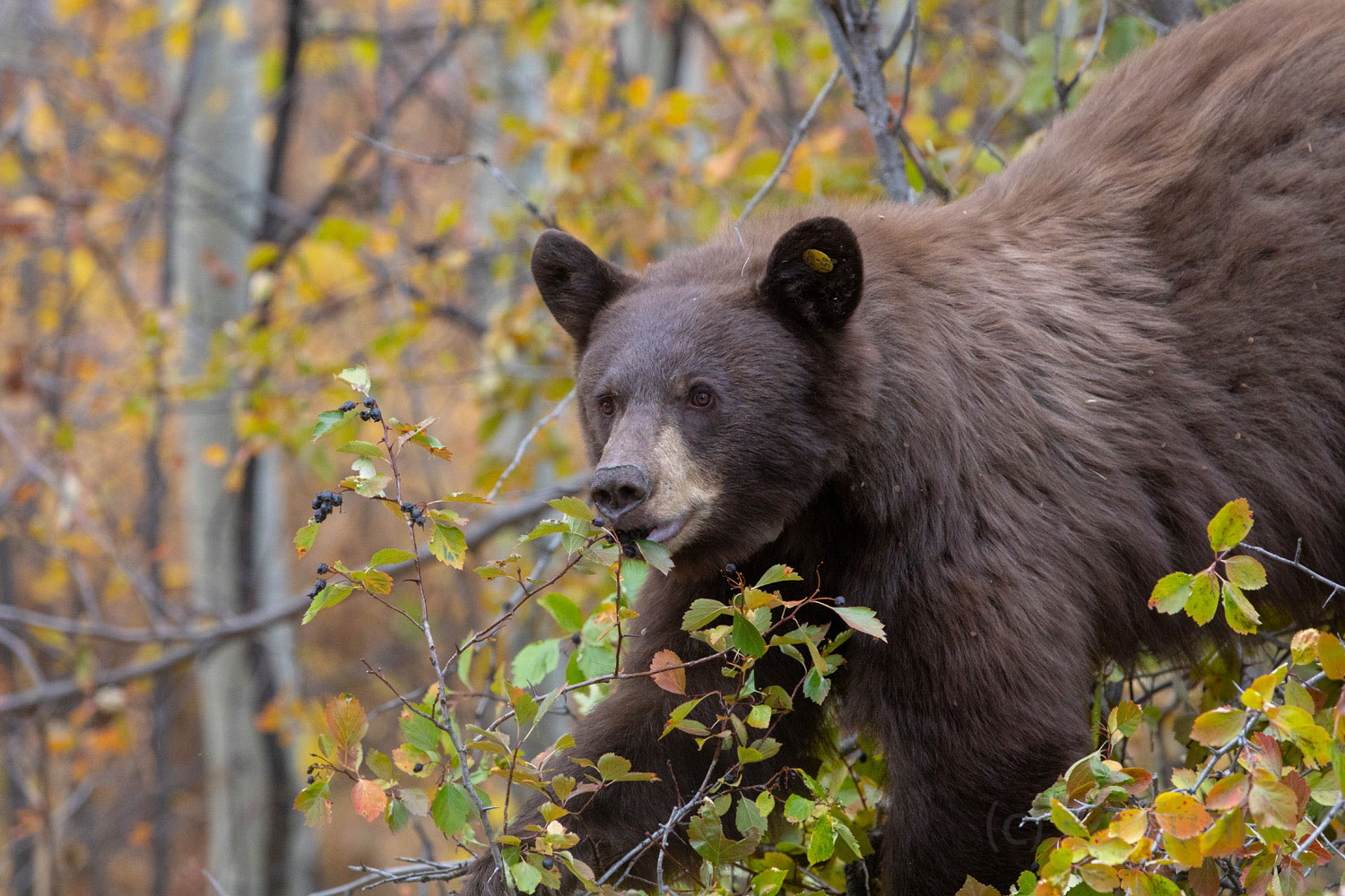 black bear, autumn, fall, grand teton, photo, image, Tetons, photo