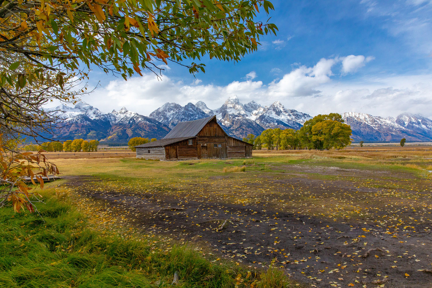 Leaves from the nearby cottonwood blow across the field in front of the Moulton Barn.