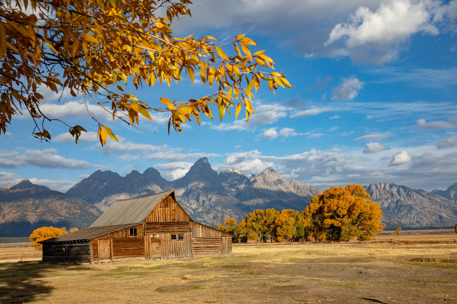 The cottonwoods around the Moulton Barn are some of the last leaves to change.  When these leaves have dropped, winter is at...