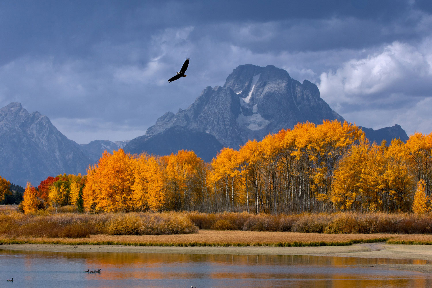 A bald eagle rises in the autumn sky in search of fish in the rich waters of the Snake River as it slows around Oxbow Bend.