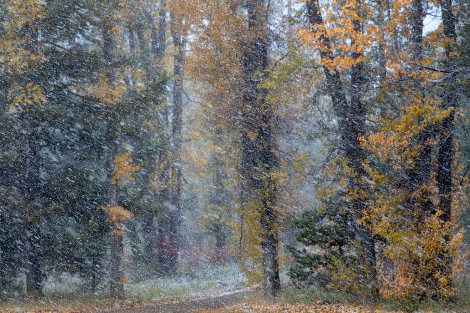 A snow squall blows through the cottonwoods near Oxbow Bend.