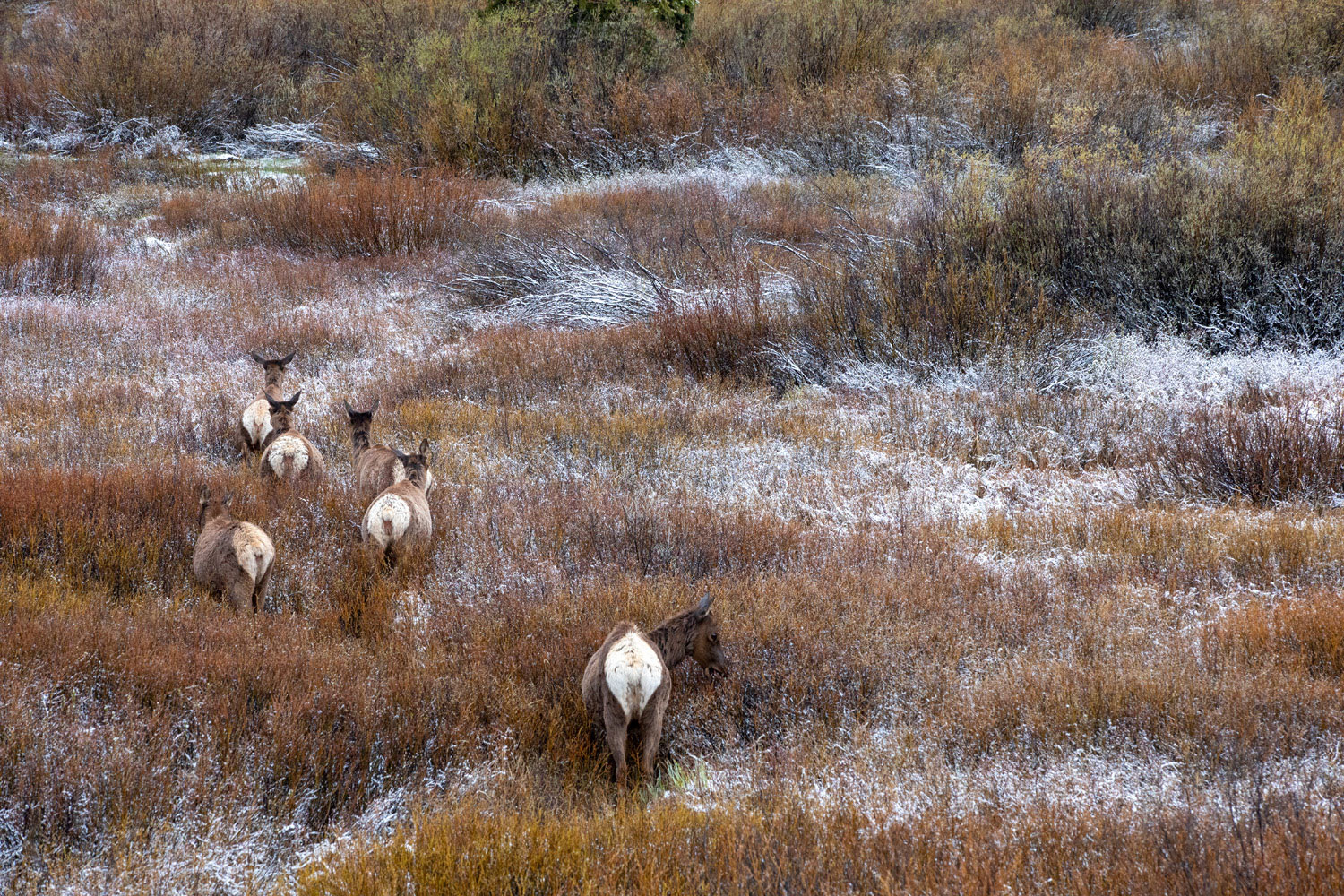 A small herd of elk disappear into the snow-tipped edges of Willow Flats.