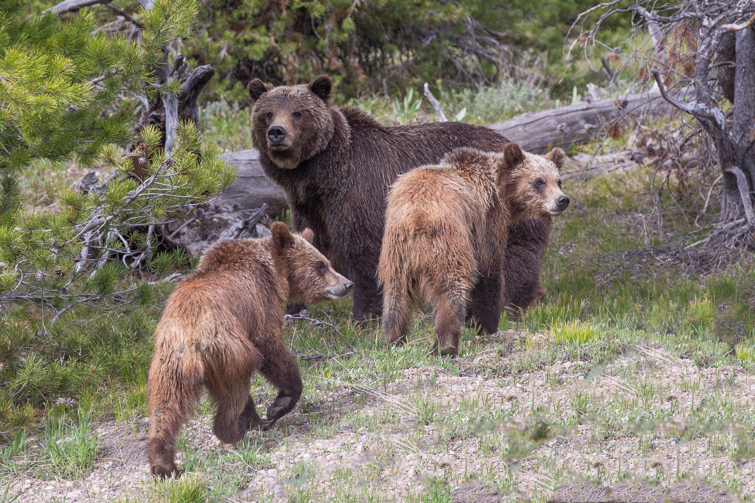 399, grizzly, bear, cub, , spring, grand teton, photo, image, , 2018, photo