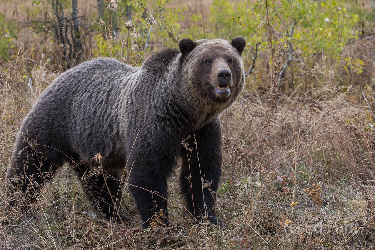 aspen, grizzly, bear, autumn,, photo