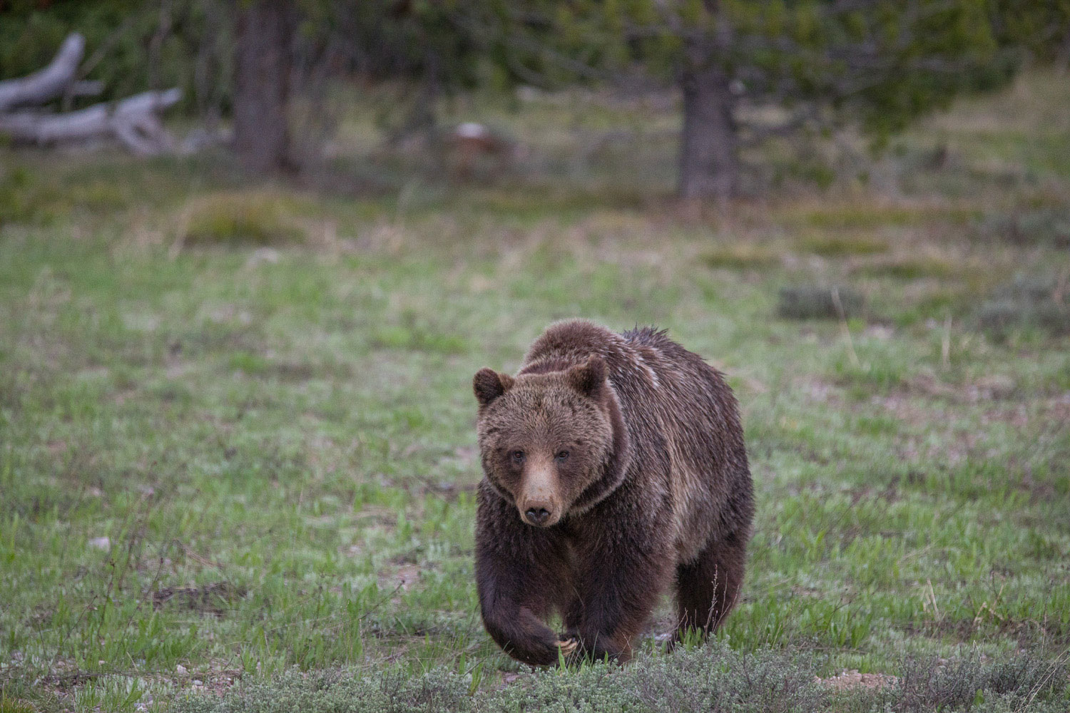 399, grizzly, bear, grand teton, photo, image, 2018, photo