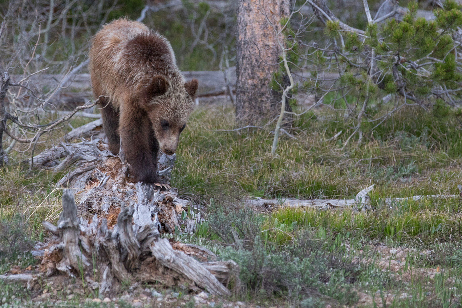399, grizzly, bear, cub, grand teton, photo, image, 2018, Tetons, photo