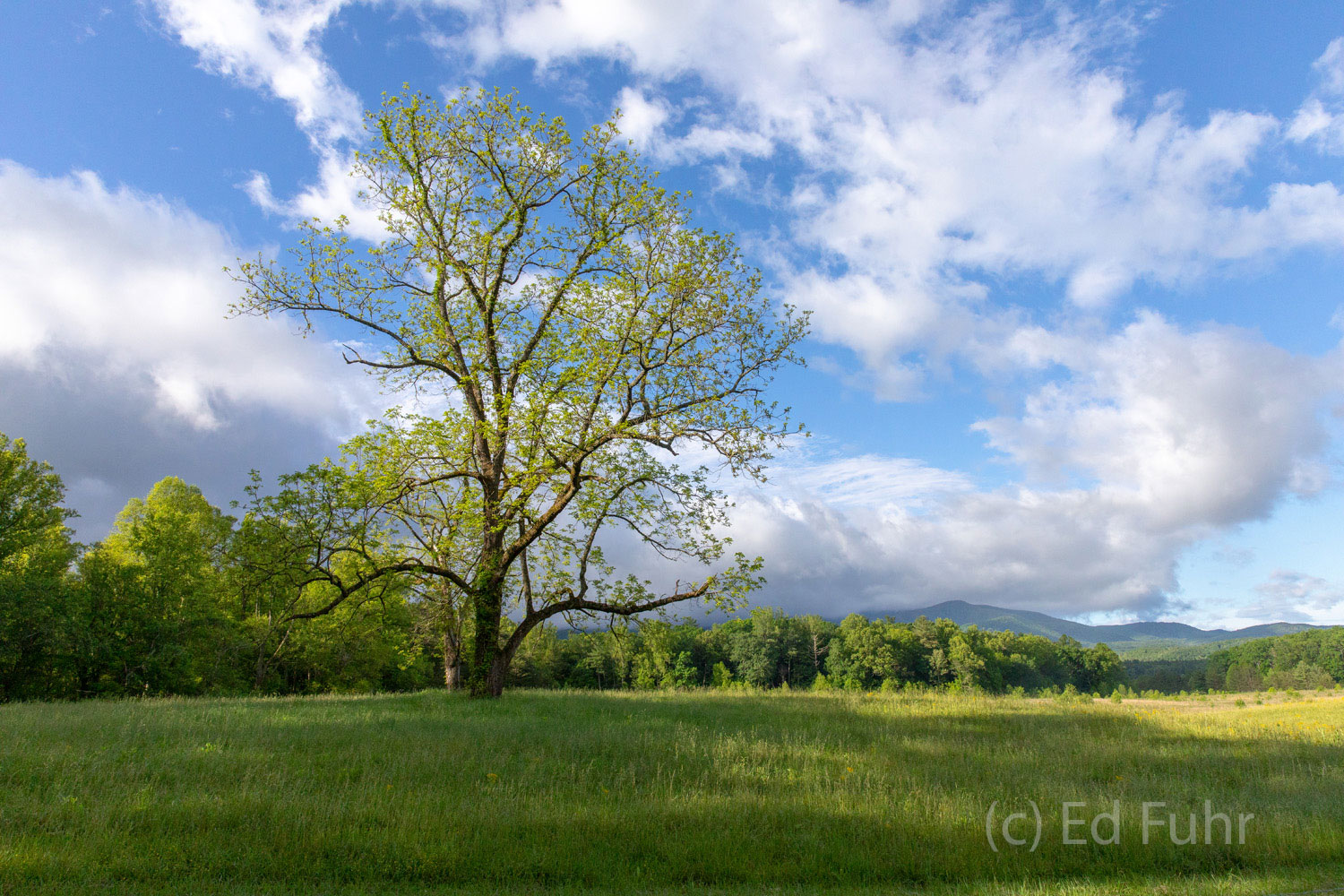 cades cove, oak, tree, spring , photo