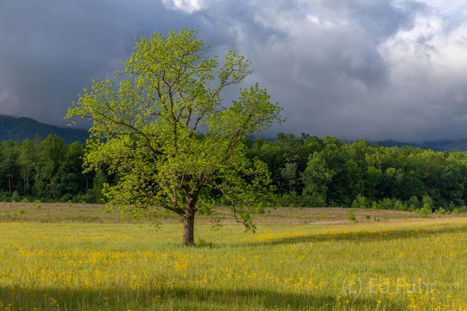 A darkening storm approaches over the mountains surrounding Cades Cove as this solitary tree stands in steady watch.