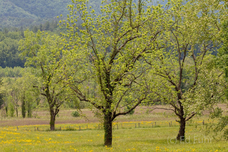 Dancing Spring Trees
