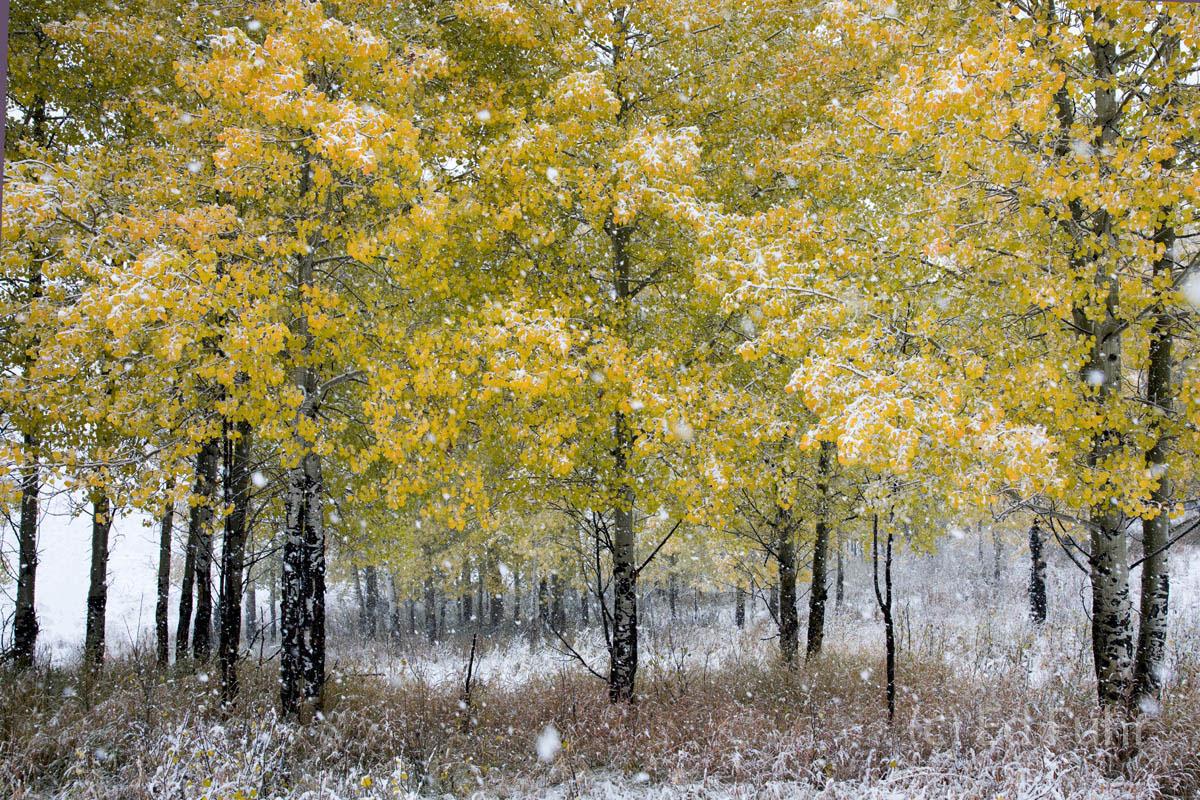 aspen, snow, autumn, , 2017, photo