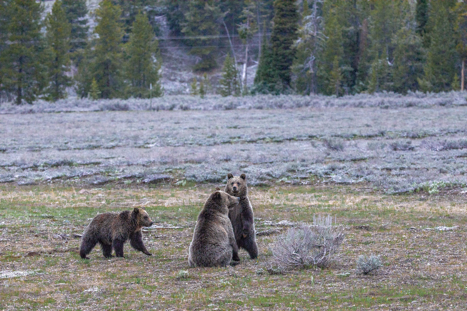 A grizzly named Blondie huddles with her two subadult cubs in the early light before sunrise.