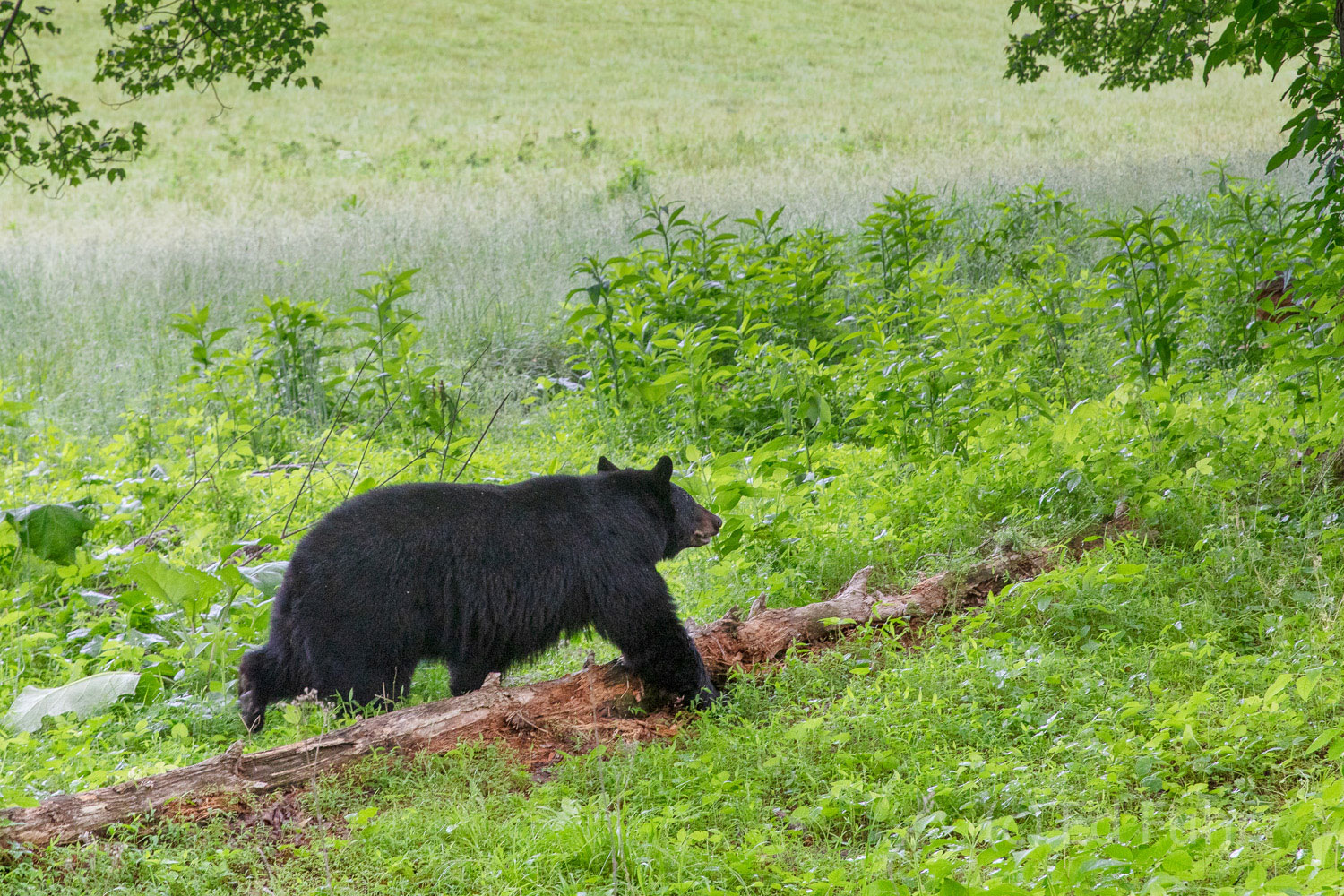 A large black bear strolls purposefully from the safety of the forest's edge into the meadow where she will graze for much of...