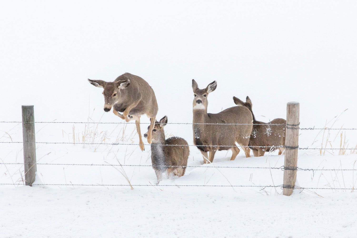 Four mule deer leap this fence to reach higher ground.  Leaps over such fences are easy in summer but in winter when there can...