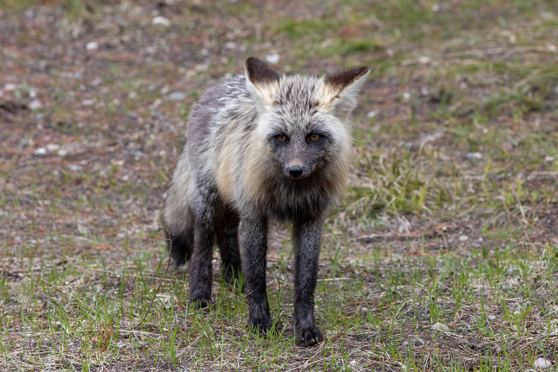 Fox, Tetons, Grand Teton, photo