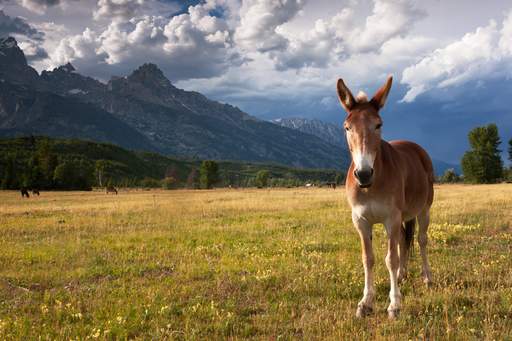 horse, mule, tetons, photo