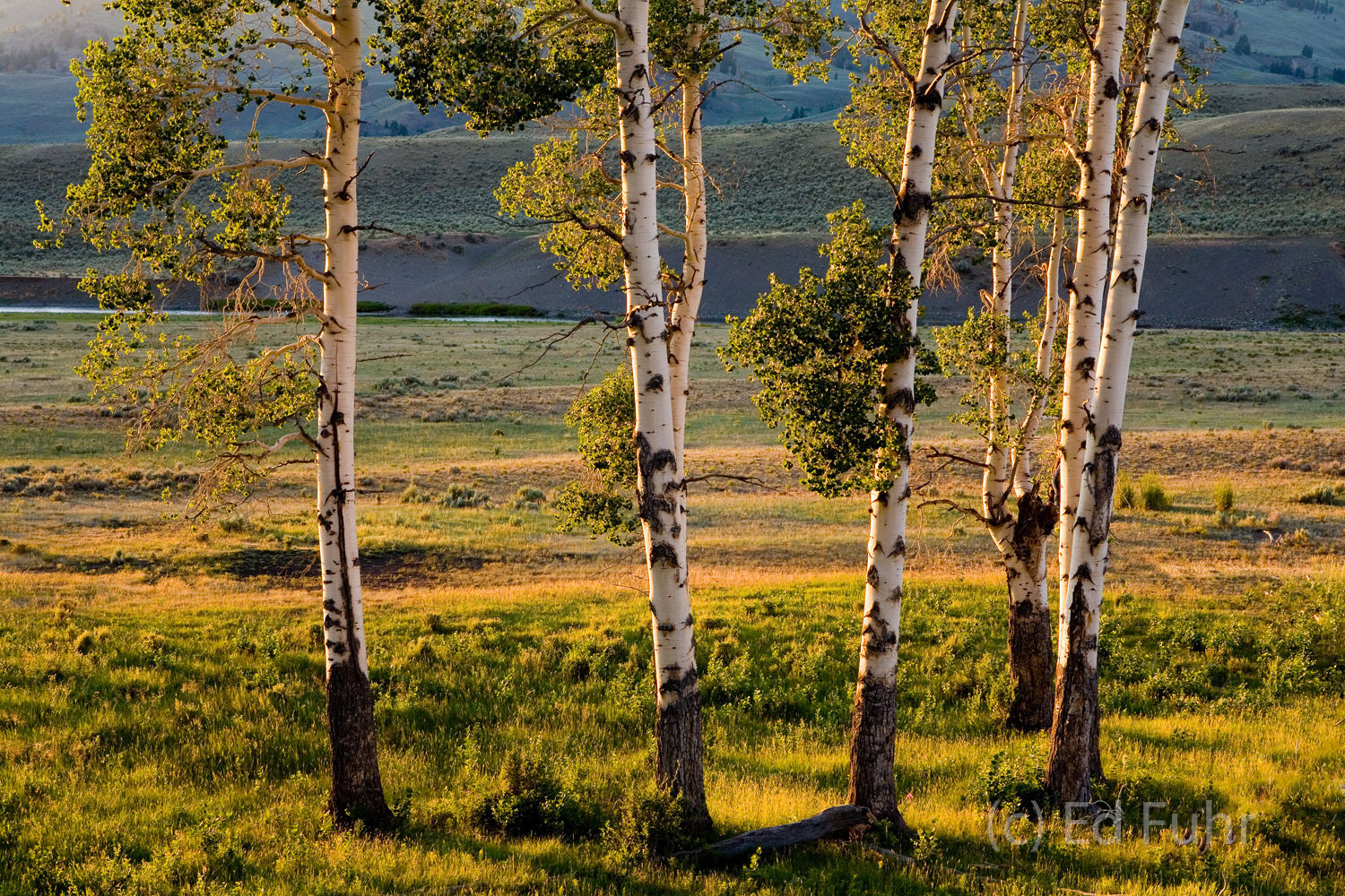 This grove of aspens reflect the warm light of sunset.