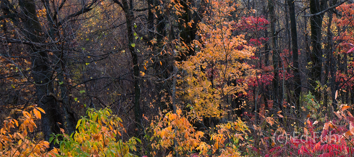 The understory at the woodland edge is oftentimes as colorful and dramatic as the sweeping vistas found in Shenandoah.
