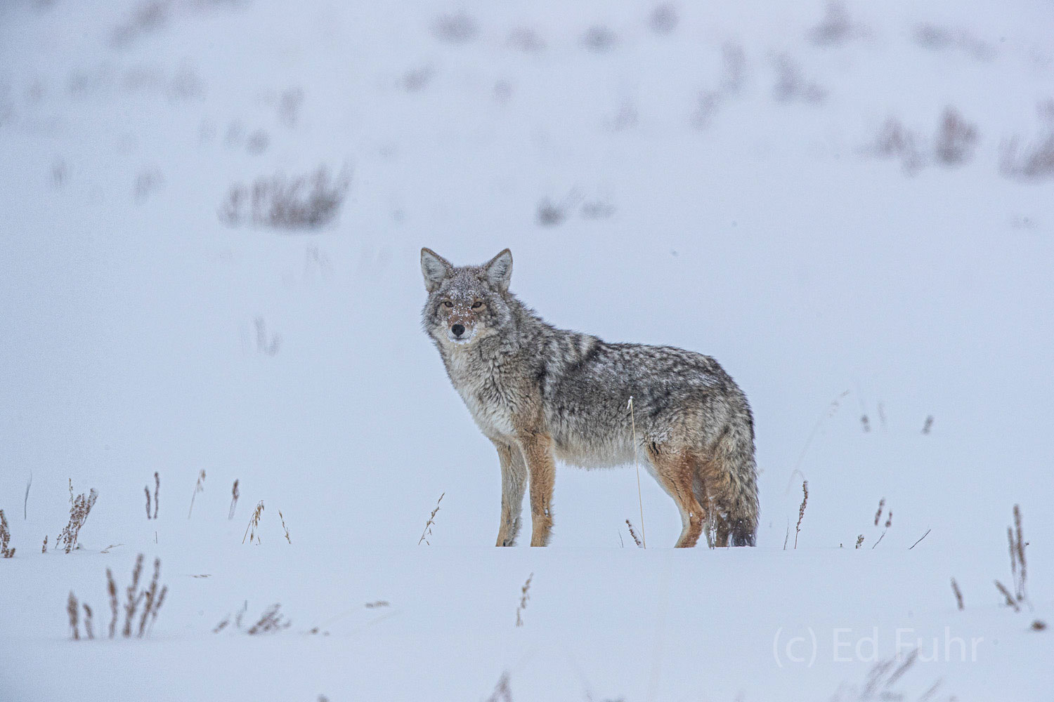 A coyote peers through the falling snow in search of food.