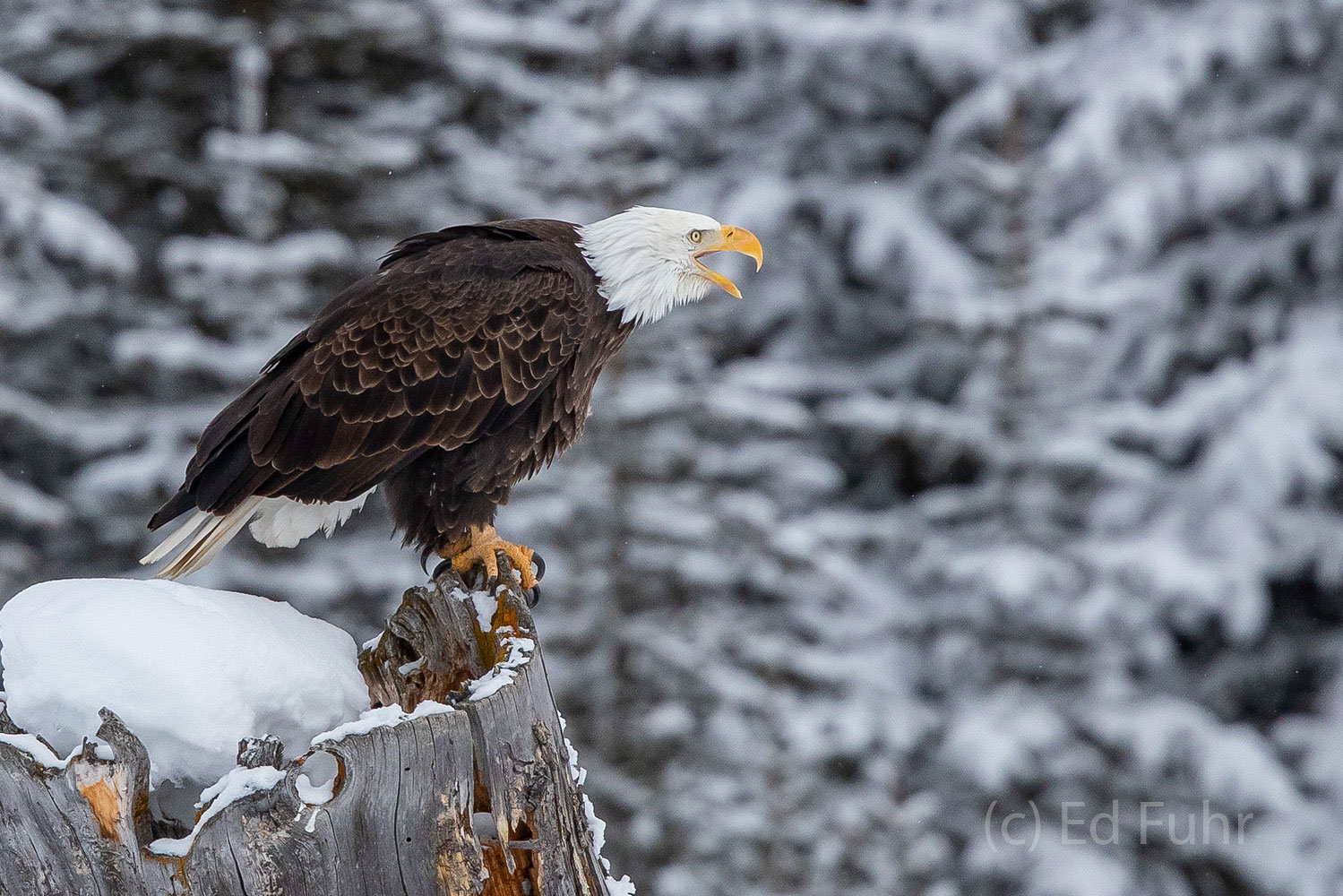 A bald eagle calls out to his mate who is feasting on a bison carcass behind some nearby pines.   They will take turns feeding...