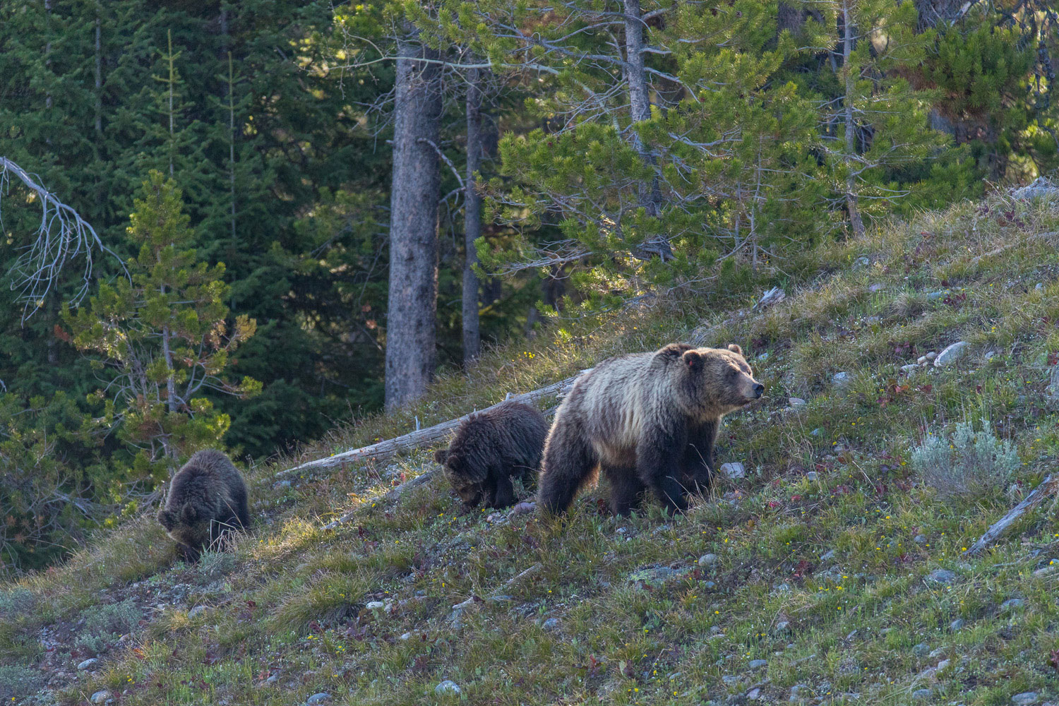 blondie, grizzly, bear, grand teton, photo, image, spring, 2018, Tetons, photo